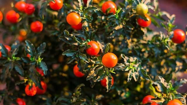 Jedovatý lilek okrasný (Solanum pseudocapsicum)