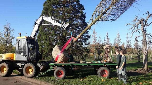 Přesazování vzrostlých stromů
