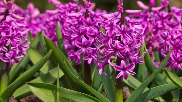 Hyacinty přihnojíme rozhozením vícesložkového hnojiva (např. Cererit). Jedině tak zajistíme, že nám na daném stanovišti dobře pokvetou i v příštích letech. Odkvetlé květy odstraníme dřív, než se začnou tvořit semeníky, které by zbytečně vysilovaly cibu...