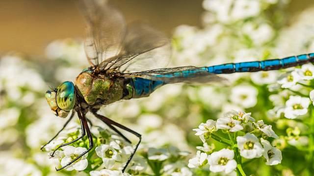 Vážka vyhledává zahradní jezírka