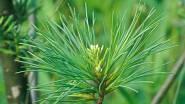 Jehličnaté dřeviny, jako je borovice - Pinus, smrk - Picea či jedle - Abies, můžeme v této době velmi snadno tvarovat zaštipováním mladých výhonů, po zakrácení výhon už v tomto roce nenaroste do běžné délky. Zaštípnutím se navíc na konci vytvoří daleko...
