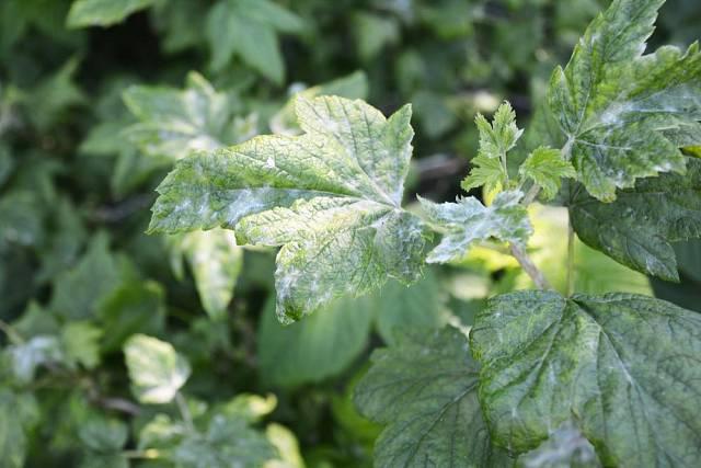 Padlí je houbová choroba vytvářející na napadených rostlinách bílý povlak.