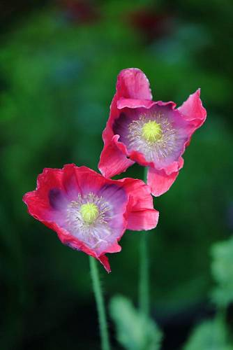Papaver Hen and Chickens