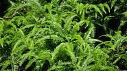 Adiantum hispidulum - z tropických kapradin vytvoříte malou soukromou džungli