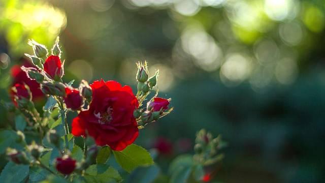 Růže před zimou