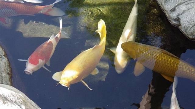 Krmení kaprovitých ryb nesmí probíhat ve vodě steplotou pod 8 °C