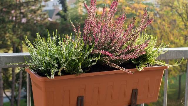 Vřesy a vřesovce zkrášlí vaše balkóny v chladných dnech