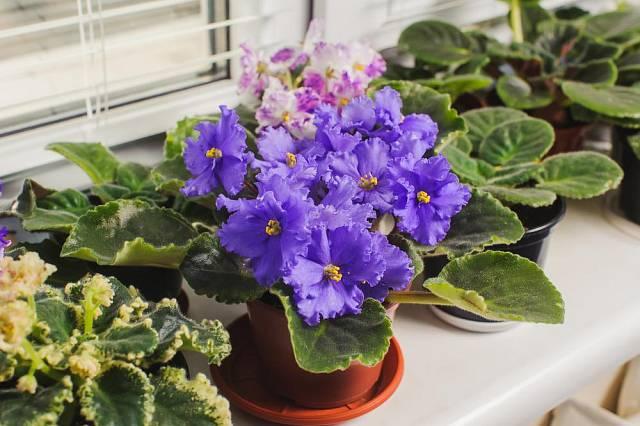 Africká fialka je nenáročná, přitom kvete prakticky celý rok.