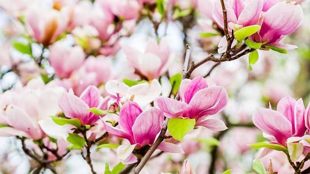 Šácholan Soulangeův (Magnolia x soulangiana, syn. M. x soulangeana)