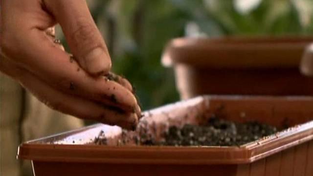 Rozmístěná semínka opatrně zakryjeme rovnoměrnou vrstvou zeminy silnou 1 - 1,5 cm.
