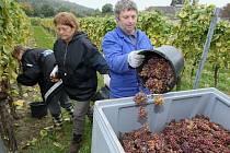 Sklizeň na žernoseckých vinicích, archivní foto.