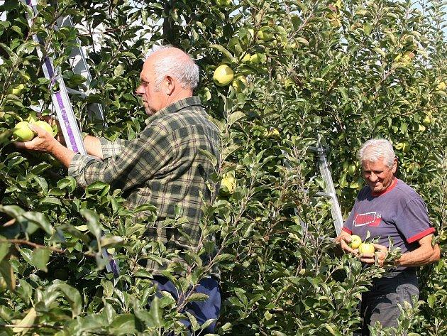 Sklizeň jablek na Litoměřicku.