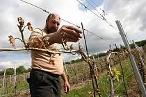 """""""JE TO SMUTNÝ POHLED,"""" říká Pavel Hrabkovský při prohlídce vinice pod Radobýlem, konkrétně odrůdy Müller Thurgau. Jeho rodinné vinařství má poškozeno téměř sto procent ze  zhruba deseti hektarů obdělávaných vinic."""