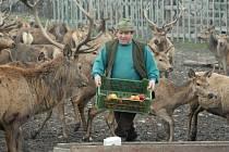 Na jelení farmě u Milešova na Lovosicku dopřává její spolumajitel Jiří Brabenec těsně před Vánocemi několika desítkám jelenů a laní dobroty v podobě jablek a čerstvého sena.