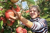 SKLIZEŇ V PLNÉM PROUDU. Sklizeň jablek v sadech na Litoměřicku nyní vrcholí. Na snímku je brigádnice Veronika Pajerová při česání jablek v sadech Zemědělského družstva Liběšice.