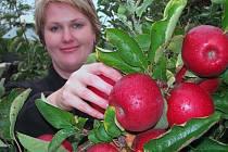 V OVOCNÁŘSTVÍCH Poblová a Petrásek Ploskovice a Miloslav Jelínek Těchobuzice pomalu končí sklizeň hrušek. U pozdních odrůdy jablek se sklizeň protáhne až do listopadu. Jablka dozrávají do standardní velikosti a pěkné se vybarvují.