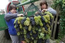Na přípravě hroznu se po celé páteční dopoledne podílela parta obětavců. Hrozny ve stejném poměru modré a bílé odrůdy darovali místní vinaři. Hmotnost obřího hroznu se pohybuje kolem 70 kilogramů.