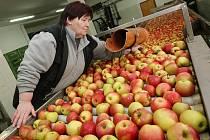 ČERSTVÉ. Pro obchodníky i běžné zákazníky se v soběnickém skladu každý den na třídicí lince připraví do přepravek čerstvé ovoce, které obsluha vybrala z komor s řízenou atmosférou dusíku.