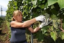 Vinařství Kupsa z Velkých Žernosek sklízí hrozny ve vinici u Žalhostic