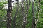 Uschlé stromy na Mostné hoře v Litoměřicích