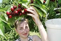 V SADU. Na snímku brigádnice Kateřina Barková z Klapého při česání třešní v sadu u Chodovlic. Letos podobnou brigádu na sběr višní nabízí studentům například roudnické ovocnářství.