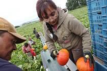 Na sklizeň v okolí obce Okna přijeli zahraniční pracovníci.