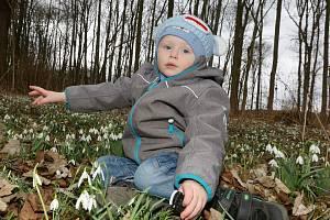 Lužní les nedaleko Vědomic u Roudnice nad Labem se proměnil v bělostnou louku plnou kvetoucích sněženek.