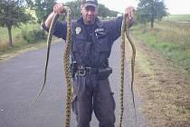 Přes dva metry dlouzí a s průměrem těl kolem dvanácti centimetrů. Dva hady s těmito parametry našli v polovině minulého týdne na Třebenicku u silnice mezi obcemi Vlastislav a Teplá.