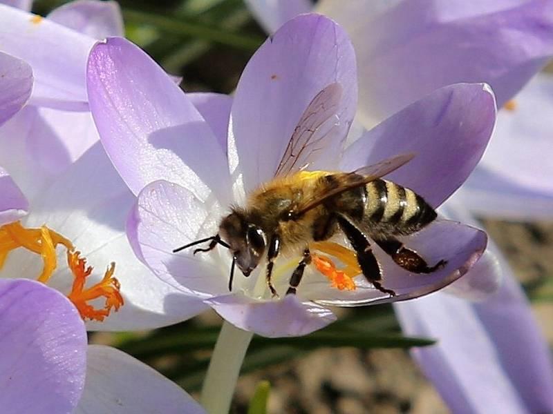 Včela.