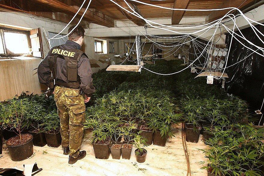 Pěstírna marihuany v Židovicích.
