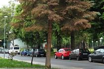 Smrk napadený škůdcem roste  v Žižkově ulici.