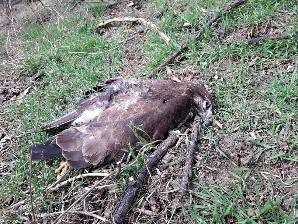 Káně lesní nalezená 15. března 2021 psí terénní jednotkou ČSO na Hodonínsku.