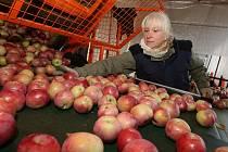 Ilustrační snímek. Jablka družstva Klapý na Litoměřicku