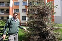Nový vedoucí odboru životního prostředí lovosické radnice Vojtěch Hamerník na snímku z Dlouhé ulice ukazuje poškození smrků po napadení mšicí. Zasažení parazitem podle něj automaticky neznamená, že stromy uhynou. Musejí mít ale dost síly