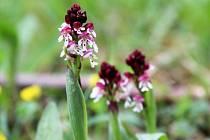 Přírodní rezervace Na Černčí je domovem řady ohrožených nebo chráněných rostlin. Na snímku je vstavač osmahlý.