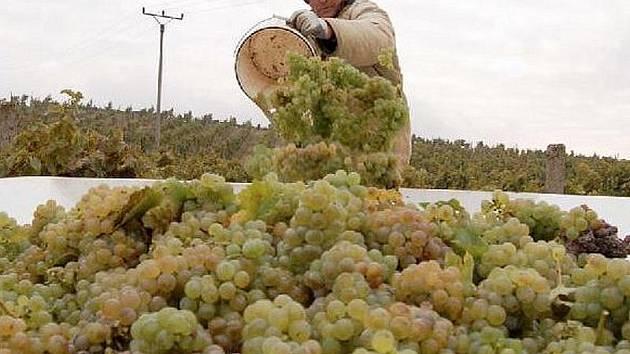 JEDNÍM z vinařství, kde ještě pokračují ve sklizni, je Agrofrukt Kamýk. Zdejší česáči pracovali na vinicích u Michalovic také v úterý. Na snímku je Čestmír Stand. Sklizené hrozny budou zpracovány v Klášterních vinných sklepech Litoměřice.