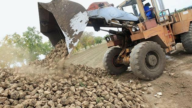 SKLIZEŇ. V současné době začala na Litoměřicku letošní sklizeň cukrové řepy. Snímek pochází ze sklizně výpěstků společnosti Astur Straškov, kde letos pěstují cukrovku na  425 hektarech.