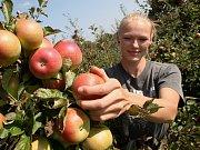 Sklizeň jablek na Ploskovicku.
