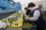 Třídění jablek v Soběnicích.