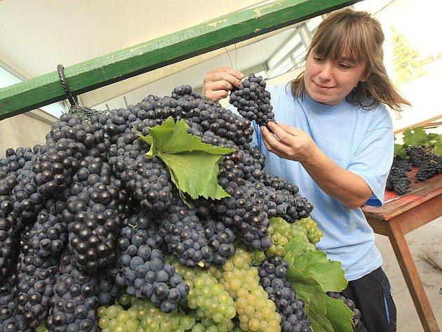 OBŘÍ HROZEN bývá na Vinobraní vydražen. Letos na něm budou různá vína. (Snímek je z roku 2008)