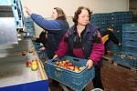 Pro obchodníky i běžné zákazníky se v soběnickém skladu každý den na třídicí lince připraví do přepravek čerstvé ovoce, které obsluha vybrala z komor s řízenou atmosférou dusíku
