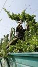 V Polepech na Litoměřicku začala sklizeň chmele. Desítky brigádníků pracují ve chmelnicích, kde pomáhají při strojovém strhávání štoků chmele.