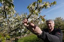 V SADU. Vedoucí ovocnářství ZD Klapý Vítězslav Houdek, stejně jako jeho kolegové ovocnáři v regionu, má obavu, že končící chladné počasí může významně ohrozit úrodu hlavně teplomilných odrůd ovoce. Vliv na to má i absence včel.