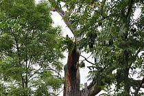 SUCHÝ KMEN UMUČENÉHO DUBU se schoval za náletové dřeviny. Z cesty jej zahlédne jen velmi bystrý pozorovatel. Přesto jsou zde lidé, kterým není osud památného stromu lhostejný. O jeho okolí se stará kronikář Milan Malík se svým synem.