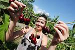 Česání třešní v sadu u Chodovlic