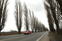 ZŮSTANE? Topolová alej podél Terezínské ulice trpí špatným zdravotním stavem a stářím. Po jejím pokácení přijde okres o jeden z výrazných krajinotvorných prvků.