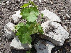 V sobotu 11.6. v 10:30 proběhne v Roudnici nad Labem v zahradách zámku slavnostní otevření křest nově vysazené vinice.