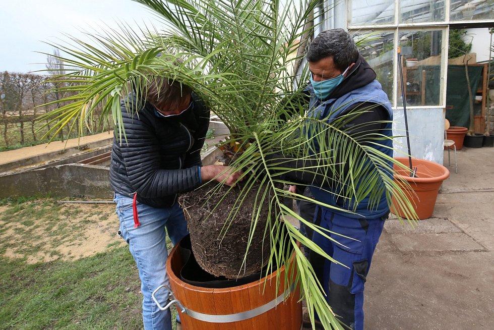 Zámecké palmy v Libochovicích dostávají nové květináče