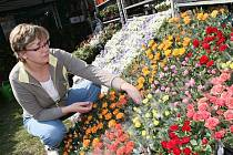 Marie Uříková ze Vsetína aranžuje květiny na Zahradě Čech.