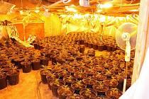 LOVOSICE. V odhalené pěstírně ve sklepení bývalého pivovaru v centru města odhalili policisté při zátahu  800 rostlin konopí.